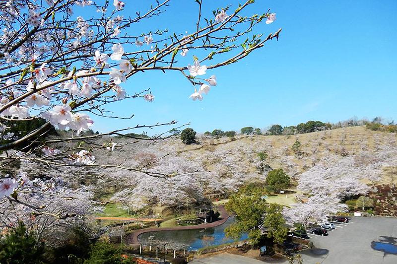 吉四六ランド(桜)の写真