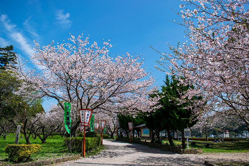 臼杵公園桜